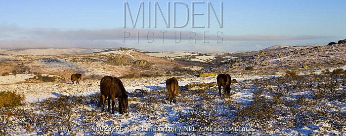 Dartmoor ponies (Equus caballus) grazing on snow covered moor in Winter, Dartmoor National Park, Devon, England, 2008  -  Adam Burton/ npl