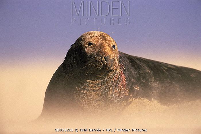 Grey Seal (Halichoerus grypus) bull in sand storm Lincolnshire, United Kingdom  -  Niall Benvie/ npl