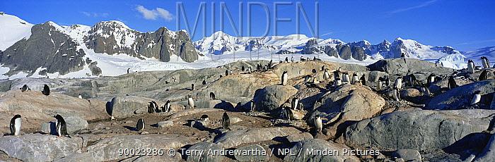 Gentoo Penguin (Pygoscelis papua) colony, Antarctica  -  Terry Andrewartha/ npl
