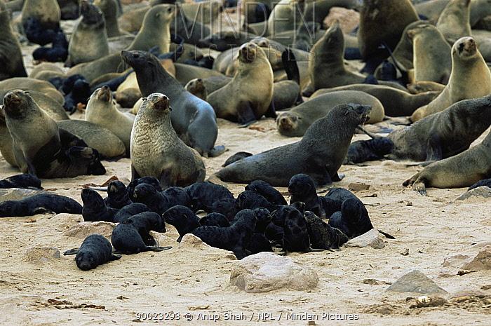 Fur Seal colony with creche of with newborn pups (Arctocephalus pusillus) Cape Cross Seal Reserve, Namibiapusillus  -  Anup Shah/ npl