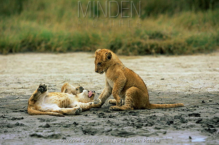 African Lion (Panthera leo) cubs playing Serengeti National Park, Tanzania  -  Anup Shah/ npl