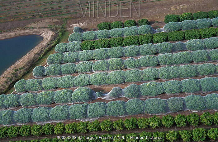 Lychee plantation (Litchi chinensis) protected from birds with nets, Mareeba, Queensland, Australia  -  Jurgen Freund/ npl