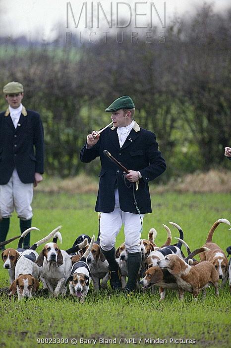 Hare Hunting, East Lincolnshire Basset Hounds Lincolnshire, UK November 2004  -  Barry Bland/ npl