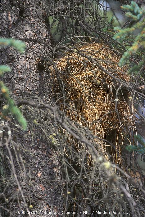 Red Squirrel (Tamiasciurus hudsonicus) nest in White spruce tree, Denali National Park, Alaska  -  Philippe Clement/ npl