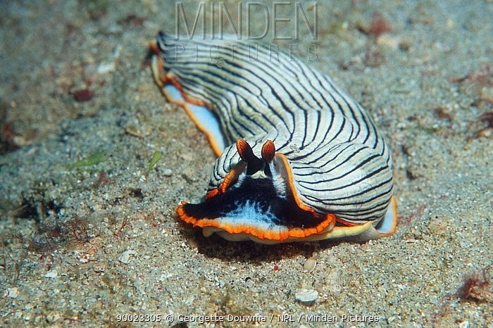 Nudibranch (Armina cygnaea) on seabed, Papua New Guinea  -  Georgette Douwma/ npl