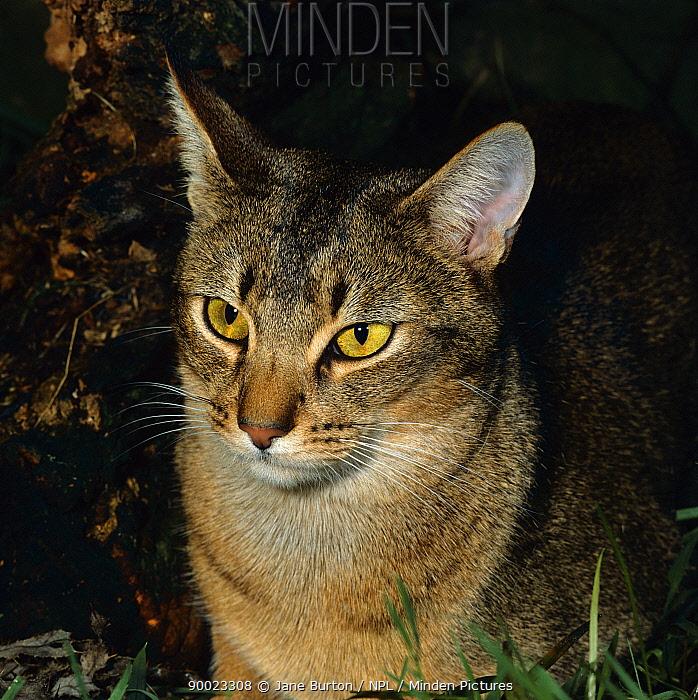 Domestic Cat (Felis catus) Abyssinian male portrait  -  Jane Burton/ npl