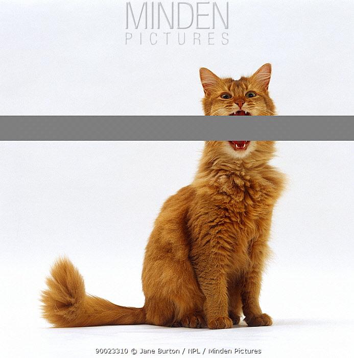 Domestic Cat (Felis catus), Chocolate somali female 'Annie' miaowing  -  Jane Burton/ npl