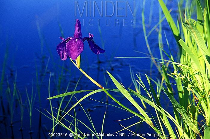 Iris (Iris sp) in wet prairies of Ussuri river valley, Ussuriland, SE Siberia, Russia  -  Konstantin Mikhailov/ npl