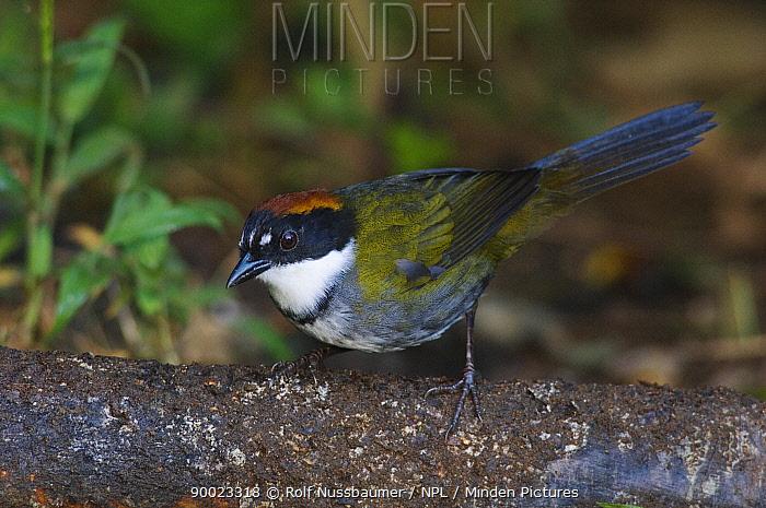 Chestnut-capped Brush-Finch (Buarremon brunneinucha) Bosque de Paz, Central Valley, Costa Rica  -  Rolf Nussbaumer/ npl