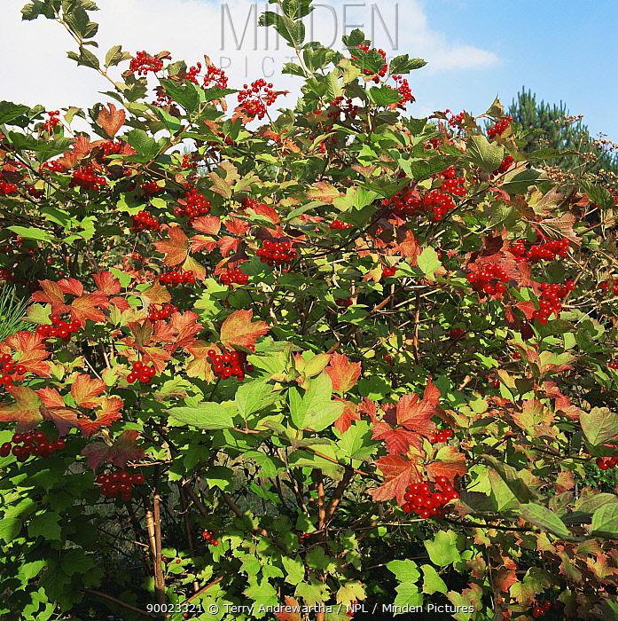Guelder Rose (Viburnum opulus) in autumn with red berries, Norfolk, United Kingdom  -  Terry Andrewartha/ npl