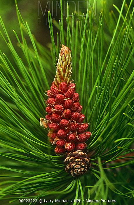 Red Pine (Pinus resinosa) cone and needles  -  Larry Michael/ npl