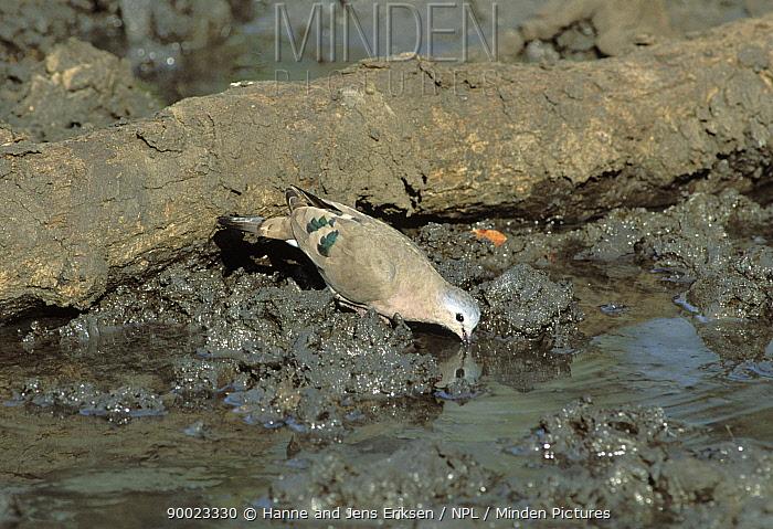 Emerald spotted wood dove (Turtur chalcospilos) drinking, Mkuze Game Reserve, South Africa  -  Hanne & Jens Eriksen/ npl