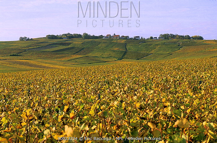 Village of Mutigny on top of hill, autumn, C?te de Blancs vineyard, Champagne country, France  -  Eric Baccega/ npl