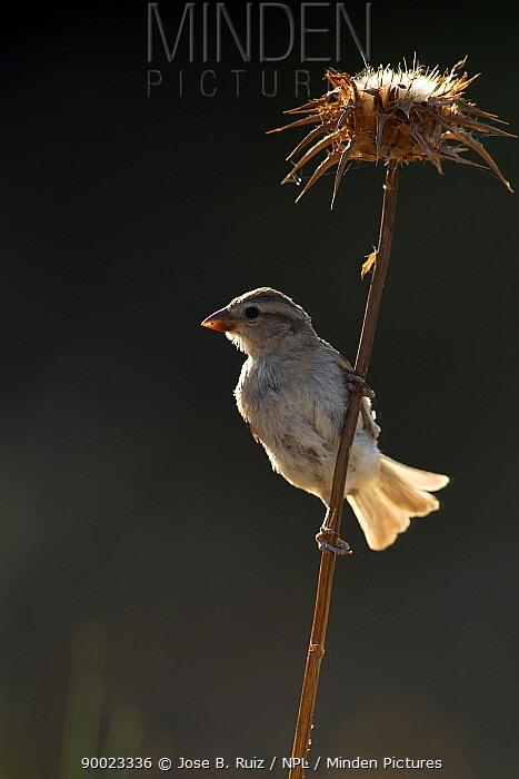 House Sparrow (Passer domesticus) female perching on Thistle, Pla de Xirau, Alicante, Spain  -  Jose B. Ruiz/ npl
