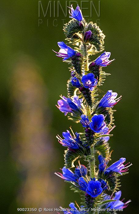 Blueweed (Echium vulgare) Braunton Burrows, Devon, United Kingdom  -  Ross Hoddinott/ npl