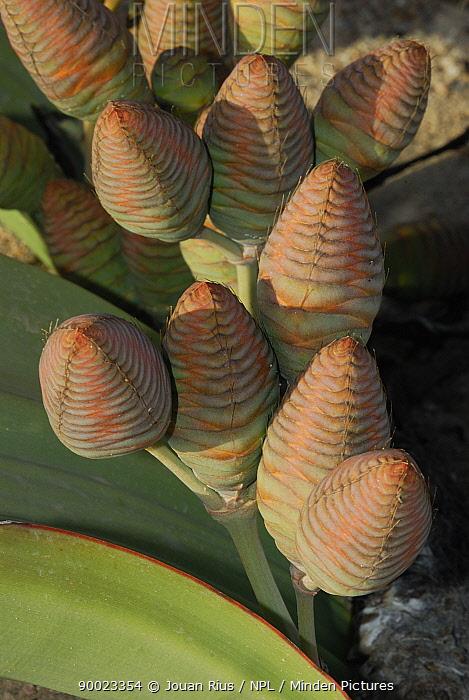 Welwitschia (Welwitschia mirabilis) female cones, Namib Naukluft National Park, Namib desert, Namibia  -  Jouan & Rius/ npl