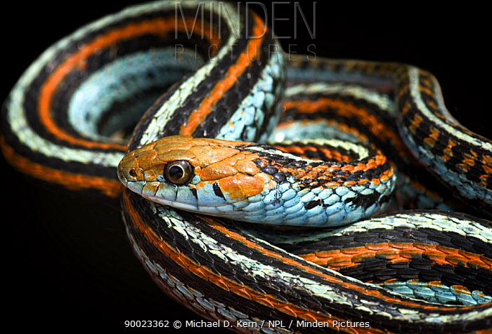 Common Garter Snake (Thamnophis sirtalis) captive, to California  -  Michael D. Kern/ npl
