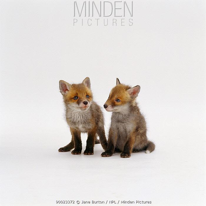 Red Fox (Vulpes vulpes) 7-weeks-old cubs, captive, United Kingdom  -  Jane Burton/ npl