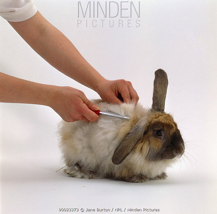 Combing the long soft fur of a Cashmere lop-eared rabbit  -  Jane Burton/ npl