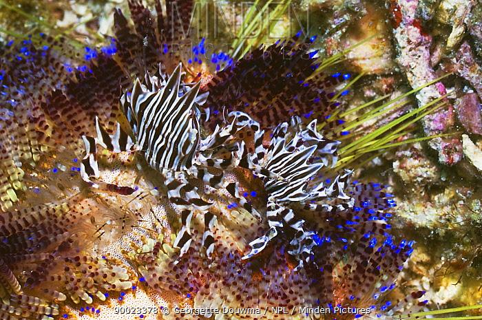 Adam's Urchin Crab (Zebrida adamsii) pair on Fire urchin (Asthonosoma varium), Rinca, Indonesia  -  Georgette Douwma/ npl