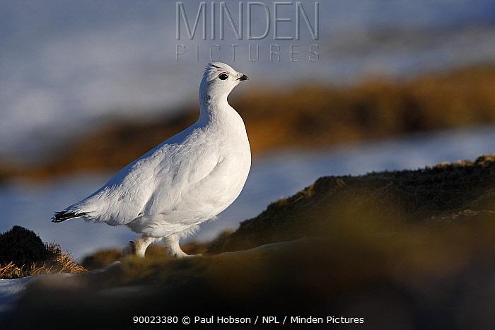 Rock Ptarmigan (Lagopus mutus) female in winter plumage, Cairngorms, Scotland United Kingdom  -  Paul Hobson/ npl