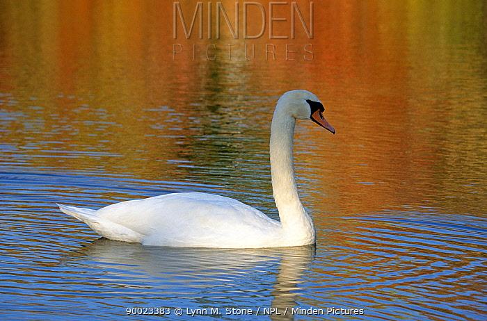 Mute Swan (Cygnus olor), Connecticut  -  Lynn M. Stone/ npl