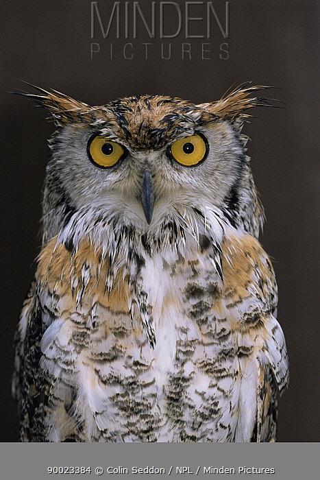Great Horned Owl (Bubo virginianus) Captive, Somerset, United Kingdom  -  Colin Seddon/ npl