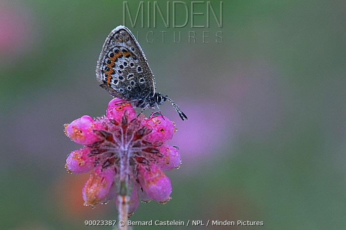 Silver-studded Blue (Plebejus argus) on Cross leaved heath (Erica tetralix) Belgium  -  Bernard Castelein/ npl