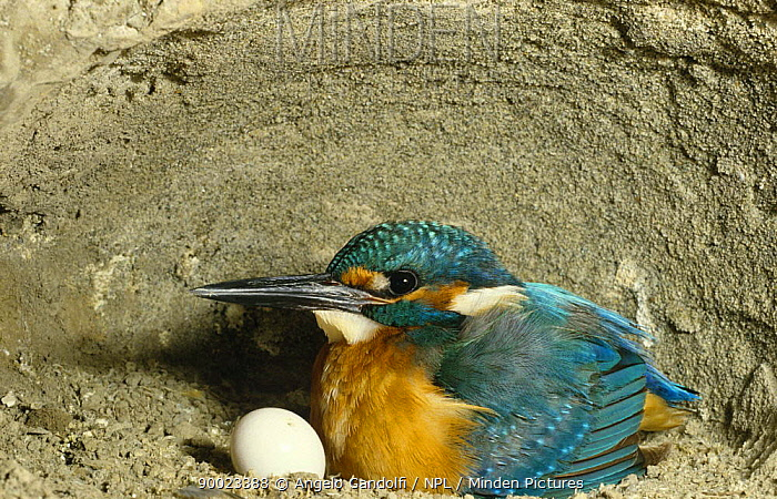 Common Kingfisher (Alcedo atthis) male brings food to 2 day chicks in nest incubating eggs in nest, Scrivia river, Italy  -  Angelo Gandolfi/ npl