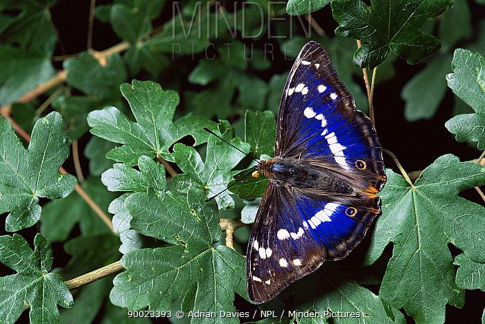 Purple Emperor (Apatura iris), United Kingdom  -  Adrian Davies/ npl
