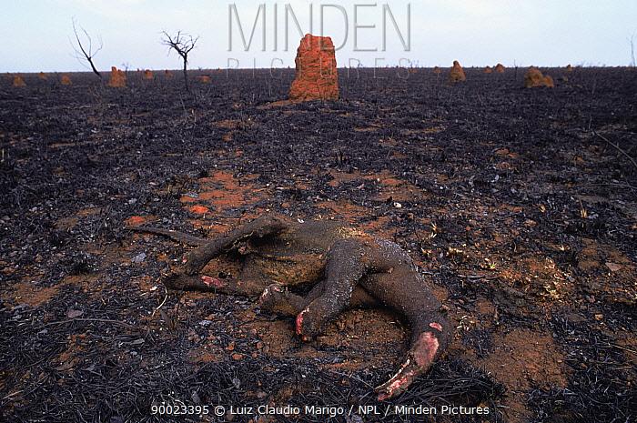 Giant Anteater (Myrmecophaga tridactyla) dead burnt in grassland fire, Emas National Park, Brazil  -  Luiz Claudio Marigo/ npl