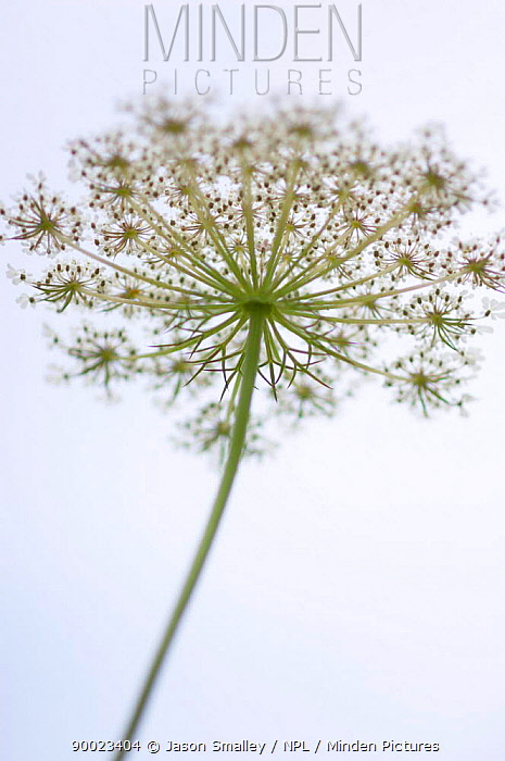 Carrot (Daucus carota) flower abstract shot from below, United Kingdom  -  Jason Smalley/ npl