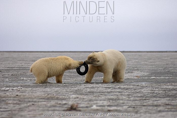 Polar Bear (Ursus maritimus) female and cub playing with tyre, Coastal plain of the Arctic National Wildlife Refuge, Alaska  -  Steven Kazlowski/ npl