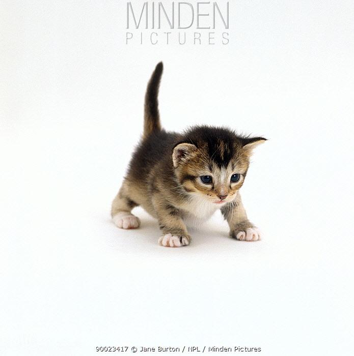 Domestic Cat (Felis catus), 3-week ticked-tabby kitten Gus, offspring of Pansy  -  Jane Burton/ npl
