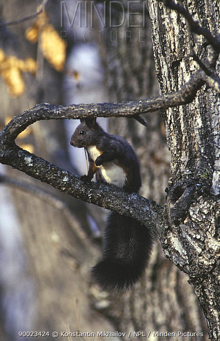 Black manchurian squirrel (Sciurus vulgaris manchuricum) black summer coat (grey in winter) SE Siberia, USA  -  Konstantin Mikhailov/ npl