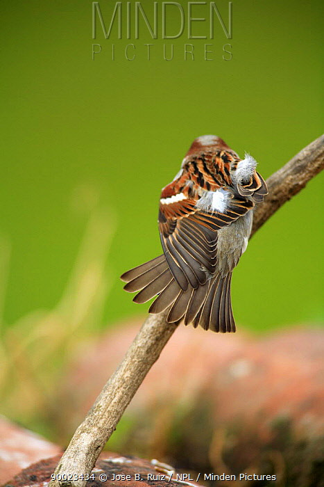 House Sparrow (Passer domesticus) male ruffling feathers, Quintana de la Serena, Badajoz, Extremadura, Spain  -  Jose B. Ruiz/ npl