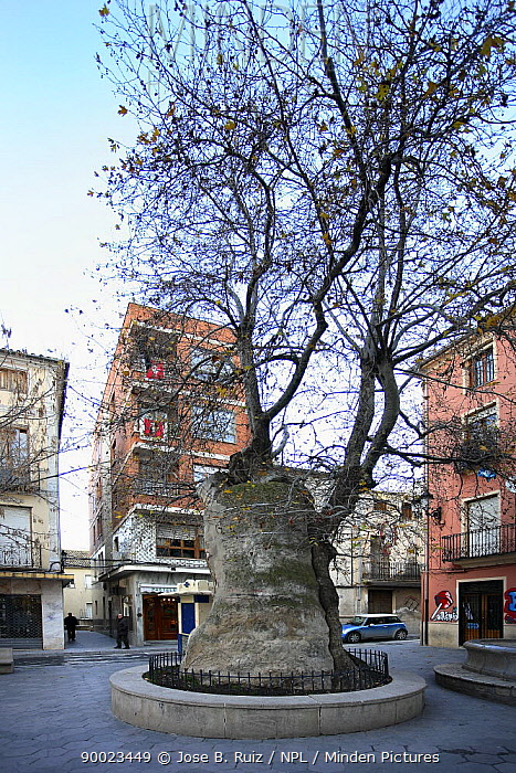 Very old specimen of an Oriental plane tree (Platanus orientalis) in town square, Plaza de Pall�, Ibi, Alicante, Spain  -  Jose B. Ruiz/ npl