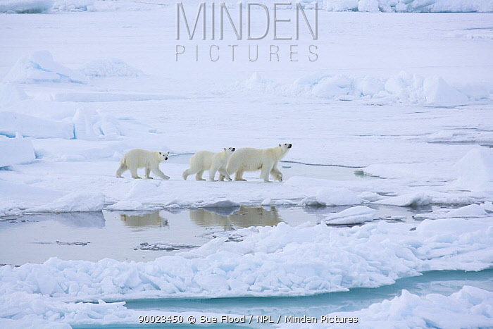 Polar Bear (Ursus maritimus) mother and cubs on the ice, close to the North Pole  -  Sue Flood/ npl
