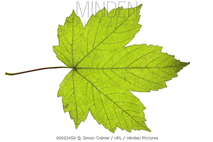 Sycamore (Acer pseudoplatanus) leaf, United Kingdom  -  Simon Colmer/ npl