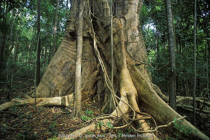 Fig (Ficus sp) tropical forest, Ankarana Special Reserve, Madagascar  -  Jouan & Rius/ npl