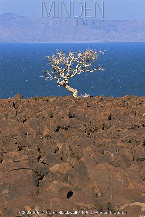 Isolated tree and volcanic rocks on shore of Lake Turkana, Kenya, 2006  -  Peter Blackwell/ npl