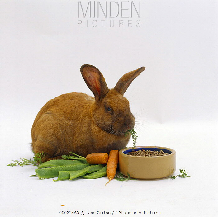 Pregnant sooty fawn female rabbit with lots to eat, carrots, green beans, rabbit pellets  -  Jane Burton/ npl