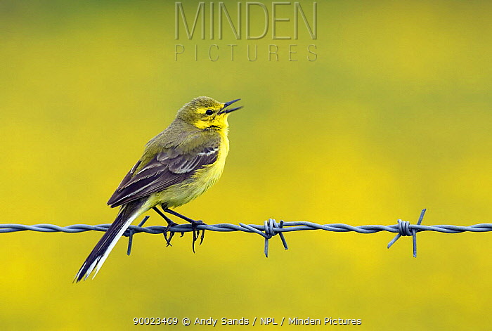 Blue-headed Wagtail (Motacilla flava) male singing from barbed wire fence, Upper Teesdale, Co Durham, England United Kingdom  -  Andy Sands/ npl