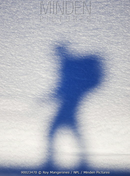 Silhouette of hiker with backpack against snow, Norway April  -  Roy Mangersnes/ npl