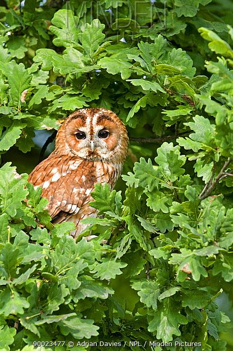 Tawny Owl (Strix aluco) in Oak tree, United Kingdom  -  Adrian Davies/ npl