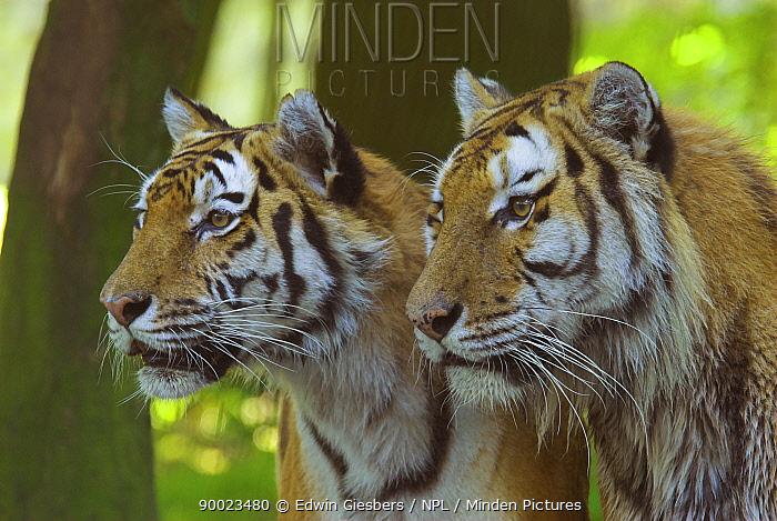 Siberian Tiger (Panthera tigris altaica) pair  -  Edwin Giesbers/ npl