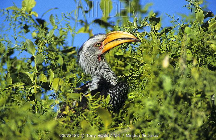 Eastern Yellow-billed Hornbill (Tockus flavirostris) feeding on fruit Etosha National Park, Namibia  -  Tony Heald/ npl