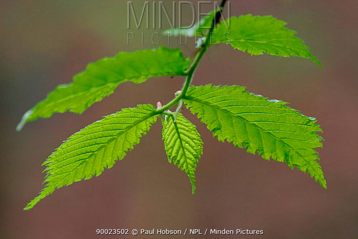 European Alder (Alnus glutinosa) leaves in spring, southern Yorkshire, United Kingdom  -  Paul Hobson/ npl