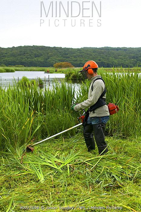 Conservation volunteer brushcutting invasive vegetation from reedbeds at Leighton Moss reserve, Lancashire, UK  -  Jason Smalley/ npl