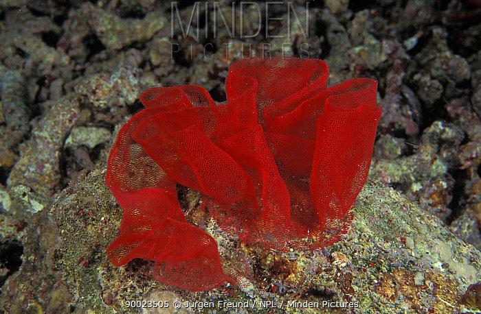 Spanish Dancer (Hexabranchus sanguineus) egg riboon Indo-Pacific  -  Jurgen Freund/ npl